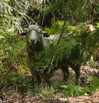 Sheep in woods